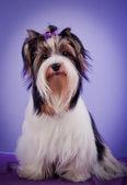 Yorkshire terrier hond — Stockfoto