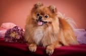 Německý špic, pes plemene pomeranian — Stock fotografie