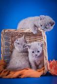 Scottish kittens — Stockfoto