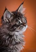 Maine Coon kitten — Stock Photo