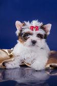 Pies Yorkshire terrier — Zdjęcie stockowe