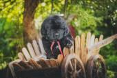犬 breedbig 黒ニューファウンドランド、子犬 — ストック写真