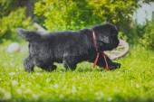 Dog breedbig black Newfoundland,puppy — Stock Photo