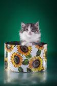 Scottish kitten, pedigreed cat — Foto Stock
