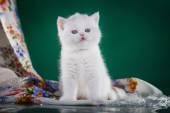 Schotse kitten, pedigreed kat — Stockfoto