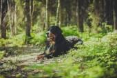 Hund rasen berner sennen — ストック写真
