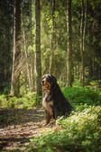 Dog breed Bernese Mountain Dog — Stock Photo