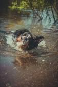 Hund rasen berner sennen — Stockfoto