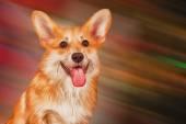Drawing Dog breed Pembroke Welsh Corgi, Puppy — 图库照片