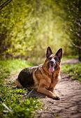 ジャーマン ・ シェパード犬の品種 — ストック写真
