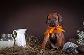 Rhodesian ridgeback puppy dog — Stock Photo