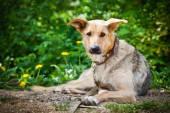 Breed Dog Outdoors — Stock Photo