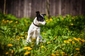 Ras hond Outdoors — Stockfoto