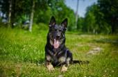 German Shepherd Dog Breed — Stock Photo