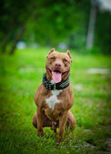 Pit bull terrier dog on the nature — Foto Stock