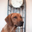 Rhodesian Ridgeback dog — Stock Photo #55812509