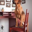 Rhodesian Ridgeback dog — Stock Photo #55812607