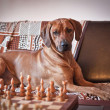 Rhodesian Ridgeback dog — Stock Photo #55812611