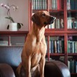 Rhodesian Ridgeback dog — Stock Photo #55812701