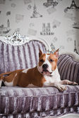 American Staffordshire Terrier dog — Stock Photo