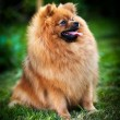 German Spitz, Dog breed Pomeranian — Stock Photo #55824241