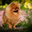 Постер, плакат: German Spitz Dog breed Pomeranian