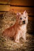 Cairn Terrier dog in the hay, wheat — Photo