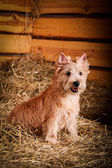 Cairn Terrier dog in the hay, wheat — Stock Photo