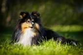 Sheltie collie dog — Stock Photo