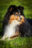Sheltie collie dog — Stock Photo