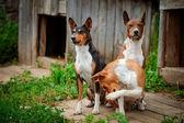 Basenji dog breed — Stock Photo