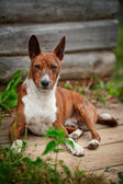 Basenji dog breed — Stock Photo
