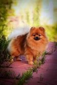 German Spitz, Dog breed Pomeranian — Zdjęcie stockowe