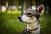 Portrait small mixed breed dog — Stock Photo