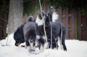 Puppy tibetan mastiff in winter, holiday, snow — Stock Photo
