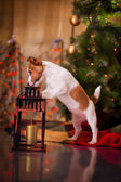 Dog Jack Russell Terrier. Puppy. Christmas, holiday, christmas — Stock Photo
