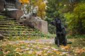 Black labrador autumn in nature, vintage — Stockfoto