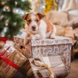Dog christmas, new year, Jack Russell Terrier — Stock Photo #57097561