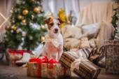 Dog christmas, new year, Jack Russell Terrier — Stock Photo