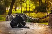 Dog on nature autumn breed Cane Corso — Stock Photo