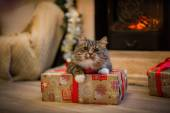 Tabby cat plays, paw, holiday — Stock Photo