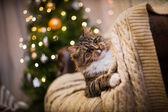 Tabby cat plays, paw, holiday — Stock Photo