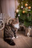 Tabby cat plays, paw, holiday — Stock fotografie