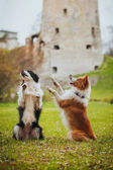 Obedient dog breed border collie. Portrait, autumn, nature, tricks, training — Stock Photo