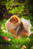 Pomeranian dog Beautiful dog — Stock Photo