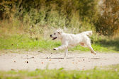 Golden retriever running on the beach — Stock Photo