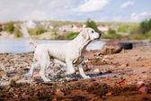 金毛猎犬在海滩上运行 — 图库照片