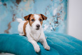 Jack cane russell — Foto Stock