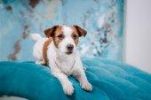 Gato perro russell — Foto de Stock