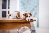 Jack Russell köpek — Stok fotoğraf